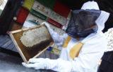 Sredi Ljubljane pridelali 150 kilogramov medu