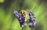 Rastline slišijo čebele